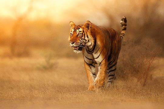 荒野をさまよう虎